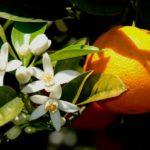 Benefícios e propriedades da flor de laranjeira