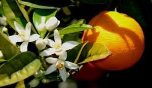 beneficios-e-propriedades-da-flor-de-laranjeira