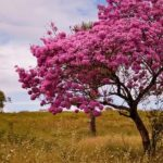Benefícios e propriedades do Pau D'Arco