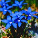 Chá de genciana – Benefícios e propriedades
