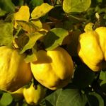 Benefícios da fruta marmelo