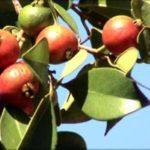 Os benefícios da fruta araçá