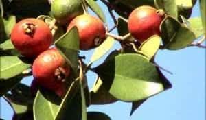 os-beneficios-da-fruta-araca