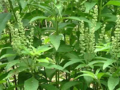 Alfavacão - Benefícios dessa planta medicinals