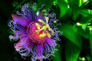Super calmante – Conheça a passiflora