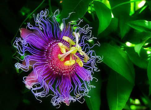 Super calmante - Conheça a passiflora