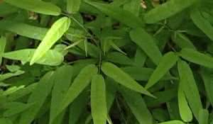 cipo-cruz-uma-planta-rica-em-propriedades-medicinais