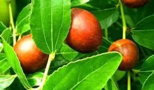 planta-jujuba-propriedades-medicinais-e-beneficios