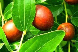 Planta jujuba – Propriedades medicinais e benefícios