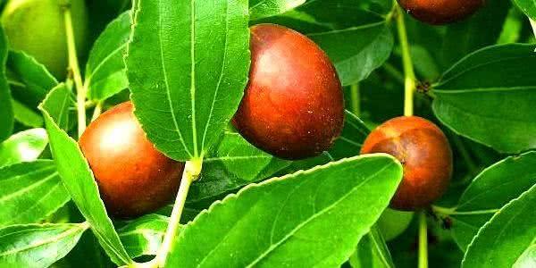 Planta jujuba - Propriedades medicinais e benefícios