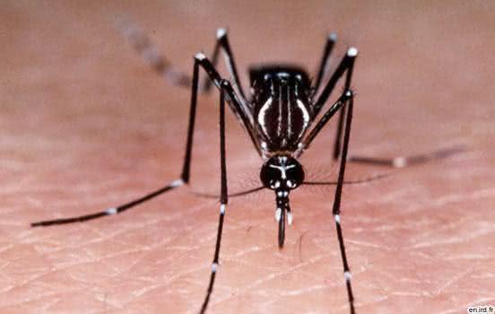 Remédios caseiros para acabar com o mosquito da dengue