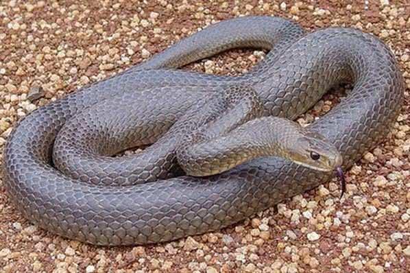 Remédio caseiro para afastar as cobras