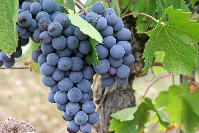 Elimine as estrias com óleo de uva