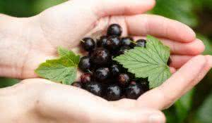 Blackcurrant picking. Locavore, clean eating,organic agriculture, local farming,growing,harvesting concept. Selective focus on topmost berry