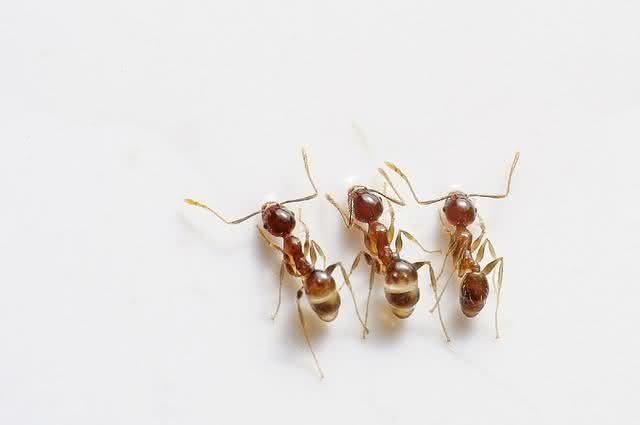 Elimine de vez baratas e formigas usando soluções naturais