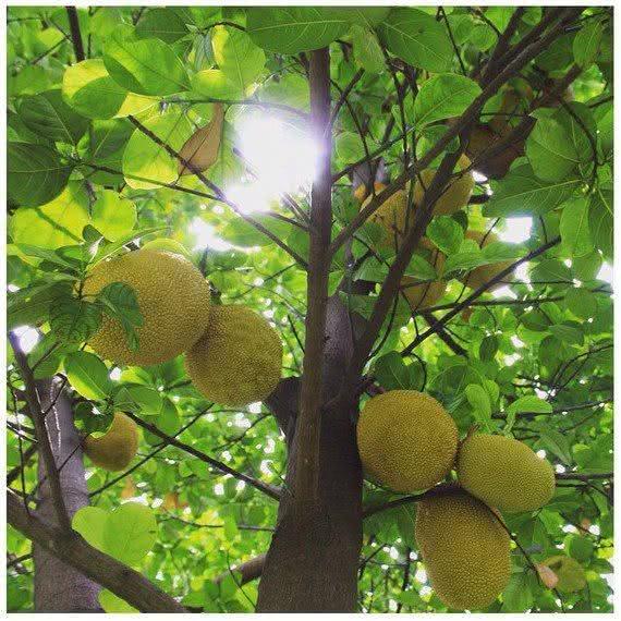 Fruta-pão (Artocarpus altillis)