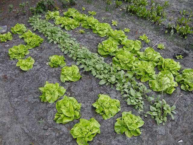 Alimentos vegetais que você pode replantar em casa