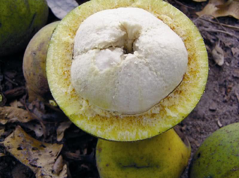 Bacuri: fruta benéfica para tratar inflamações e colesterol