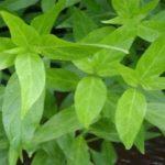 Benefícios da planta pariri