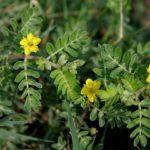 Benefícios da planta tribulus terrestris