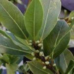Benefícios do chá de folha de louro para saúde