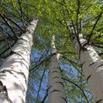 Bétula: planta repleta de benefícios