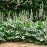 Acanto: benefícios desta planta para a saúde