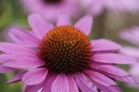 Equinácea: planta fortalecedora do sistema imunológico