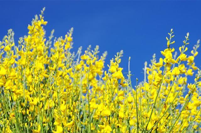 Conheça a giesta e os seus benefícios para saúde do nosso corpo
