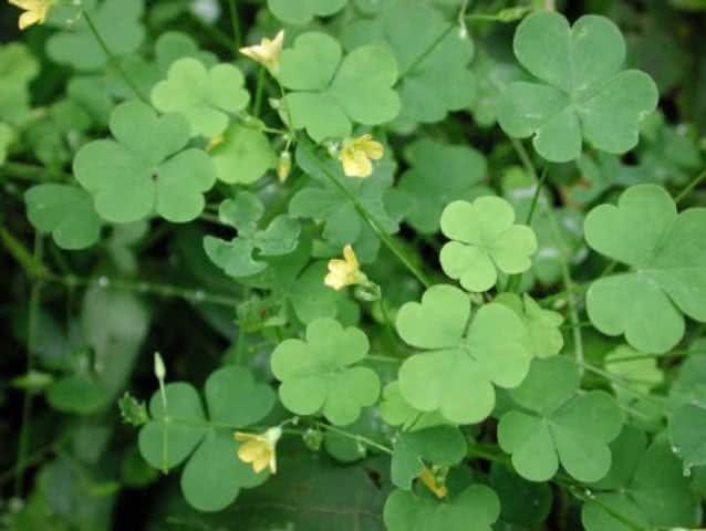 Planta azedinha: benefícios desta planta para saúde