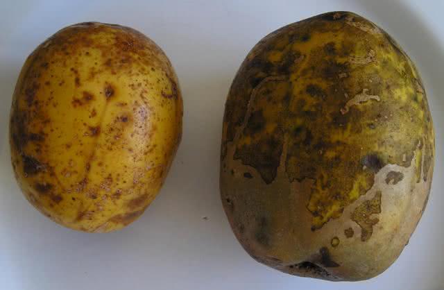 Características e benefícios da fruta cajá manga