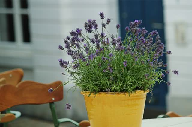 Imagem de vaso com planta alfazema