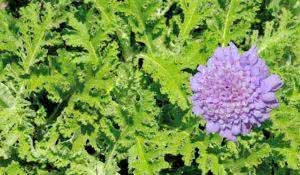 Composite of an African Wormwood plant and flower. It is a tonic herb that is anti-inflammatory, antiseptic and antidepressant.