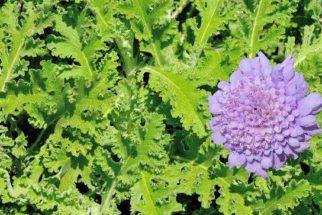 Absinto: saiba mais sobre os benefícios desta planta