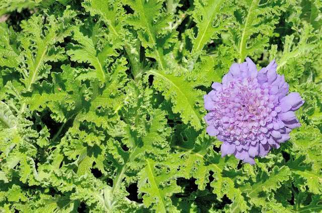 Absinto - Saiba mais sobre os benefícios desta planta