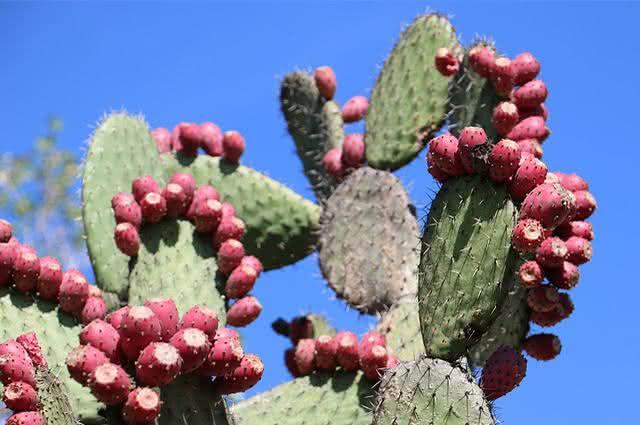 Fruto do nopal pode ajudar a emagrecer de forma saudável
