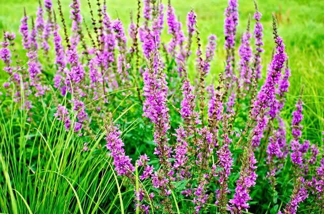 Planta salgueirinha para eliminar distúrbios intestinais
