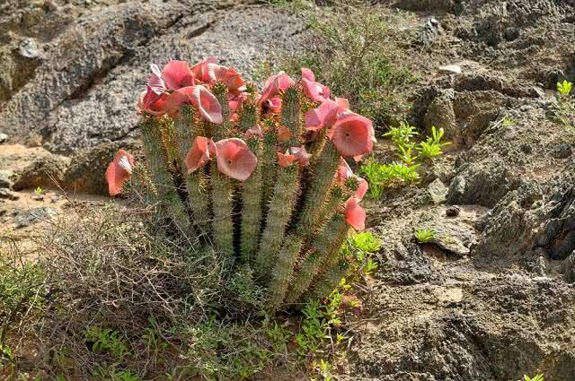 Imagem da planta hoodia gordonii