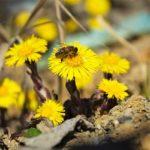 Tussilagem: uma planta ideal para combater doenças respiratórias