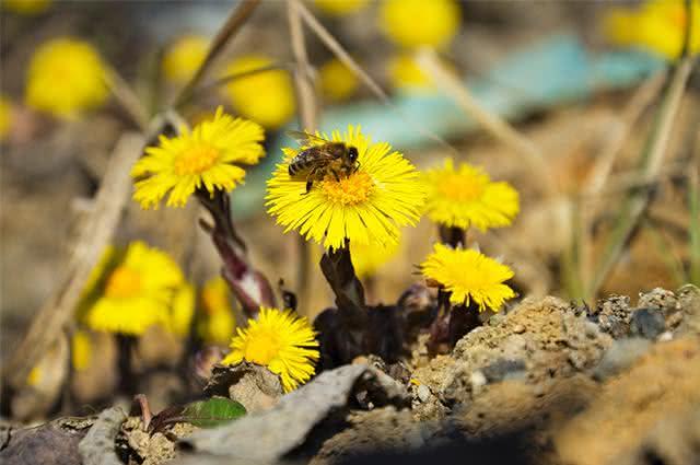 Imagem de abelha em flor de tussilagem