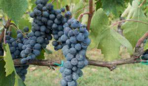 proteja-seu-coracao-com-o-suco-de-uva