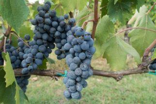 Proteja seu coração com o suco fresco da uva