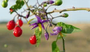 Red nightshade (Solanum dulcamara) can be used for healing.