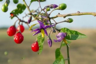 As propriedades e os benefícios da dulcamara