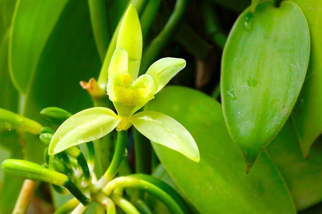 Assim como a maioria das plantas, a baunilha, se consumida em excesso, pode causar intoxicação