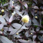 Doril: propriedades e benefícios da planta