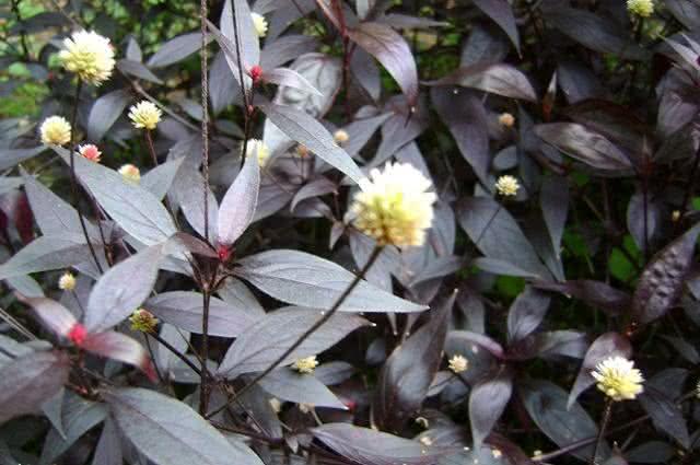 Imagem de planta doril