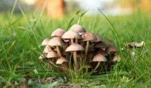 Group of poisonous mushrooms in a green forestgrass