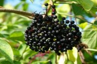 Xarope de baga de sabugueiro e seus benefícios para a saúde