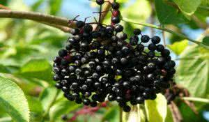 Sambucus nigra (Elder, Elderberry, Black Elder, European Elder, European Elderberry, European Black Elderberry, Common Elder, Elder Bush)